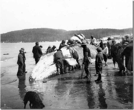 Makah_Flensing_Whale